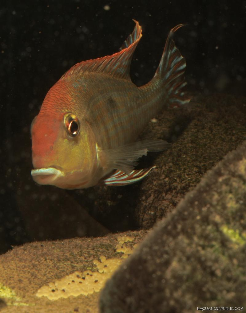 Geophagus sp. `TAPAJOS RED HEAD`