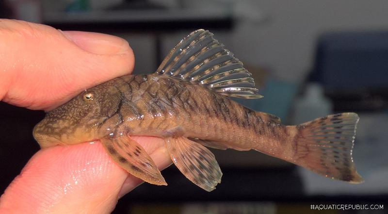 Chaetostoma sp. (6)