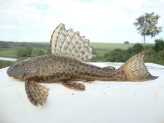 Hypostomus ancistroides
