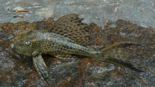 Hypostomus sp. (L087)
