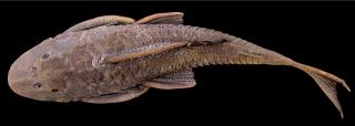 Hypostomus subcarinatus
