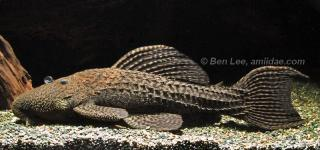 Pseudacanthicus sp. (L185)