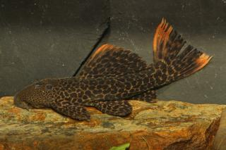Pseudacanthicus sp. (L427)