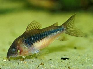 Common member of the subfamily corydoradinae
