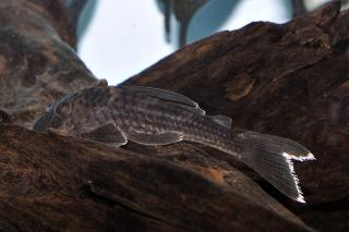 Ancistomus snethlageae
