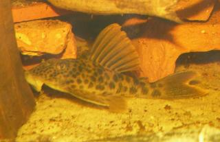 Ancistomus sp. (L163)