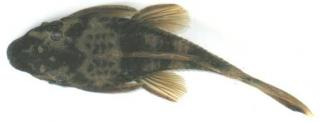 Ancistrus sp. (LDA016)