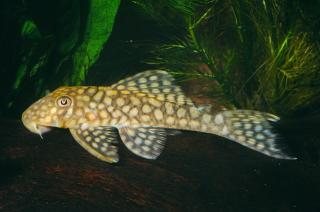 Baryancistrus sp. (L019)