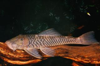 Chaetostoma sp. `COLOMBIA`