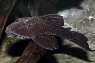 Hypostomus latifrons