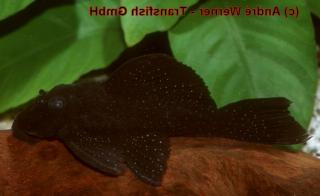 Spectracanthicus sp. (L353)