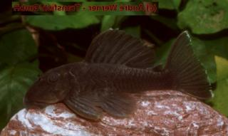 Spectracanthicus sp. (L363)