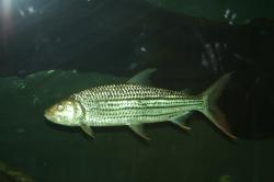 Hydrocynus vittatus - Click for species data page