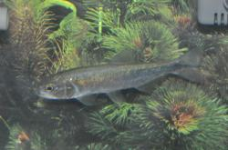 Salminus brasiliensis - Click for species data page