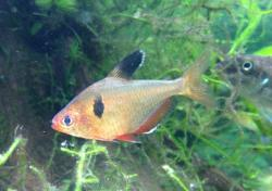 Hyphessobrycon eques - Click for species data page