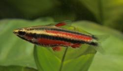 Nannostomus rubrocaudatus - Click for species page