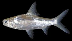 Amblyrhynchichthys micracanthus - Click for species data page