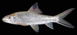 Barbichthys laevis - Click for species data page