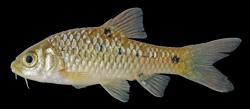 Barbodes rhombeus - Click for species data page
