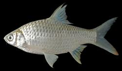 Barbonymus gonionotus - Click for species data page