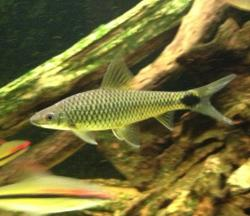 Crossocheilus reticulatus - Click for species data page
