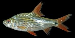 Cyclocheilichthys apogon - Click for species data page