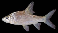 Cyclocheilichthys armatus - Click for species data page