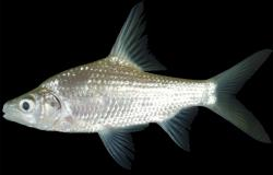 Cyclocheilichthys lagleri - Click for species data page