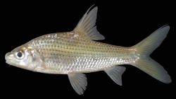 Cyclocheilichthys repasson - Click for species data page