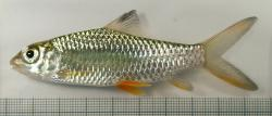 Hypselobarbus jerdoni - Click for species data page