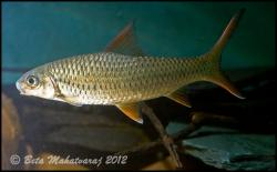 Hypselobarbus thomassi - Click for species data page