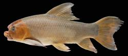 Incisilabeo behri - Click for species data page