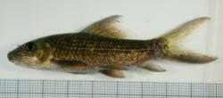 Labeo cyclorhynchus