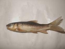Labeo pangusia - Click for species data page