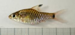 Oreichthys sp. `RED FIN`