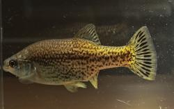 Ameca splendens - Click for species data page