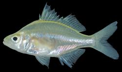 Parambassis apogonoides - Click for species data page