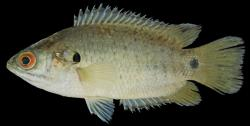 Anabas testudineus - Click for species data page