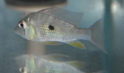 Acarichthys heckelii - Click for species data page