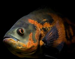 Astronotus ocellatus - Click for species data page