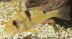 Geophagus harreri - Click for species data page