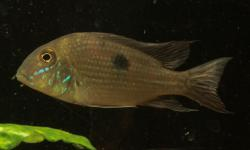 Geophagus parnaibae - Click for species data page