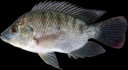 Oreochromis mossambicus - Click for species data page