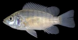 Oreochromis niloticus - Click for species data page