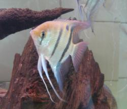 Pterophyllum leopoldi - Click for species data page