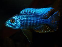Sciaenochromis ahli - Click for species data page