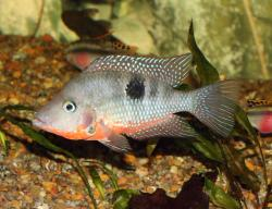 Thorichthys meeki - Click for species data page