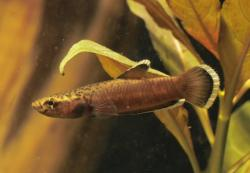 Betta albimarginata