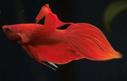 Betta splendens - Click for species data page
