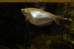 Trichopodus microlepis